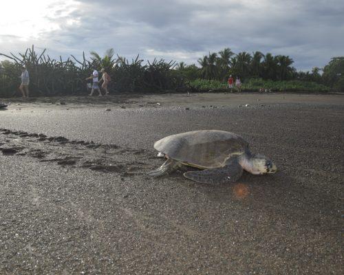 turtle walking on sandy beach