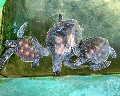 turtles in water